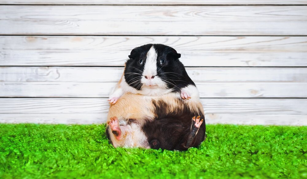 bloated guinea pig