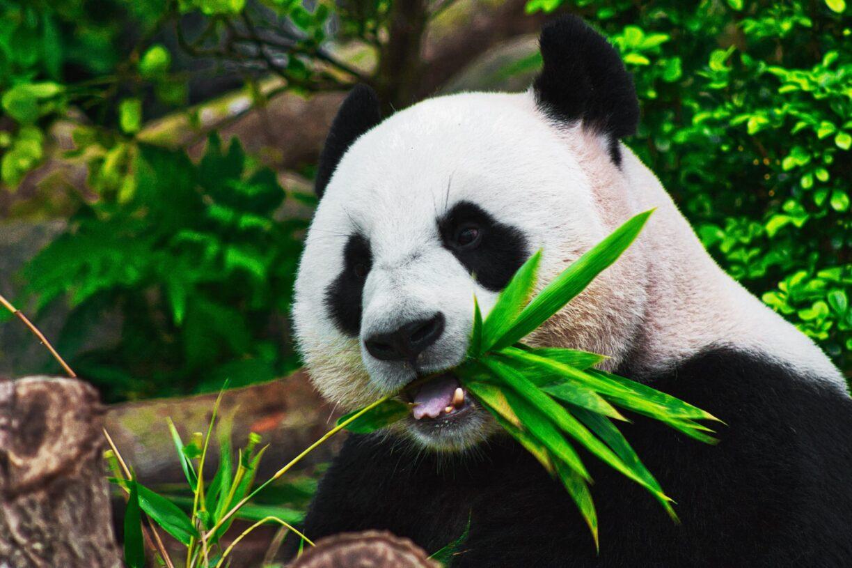 Panda 2 1