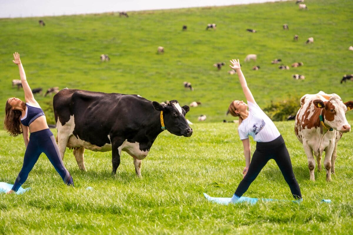 Take A Yoga Class With Cows In Lancashire