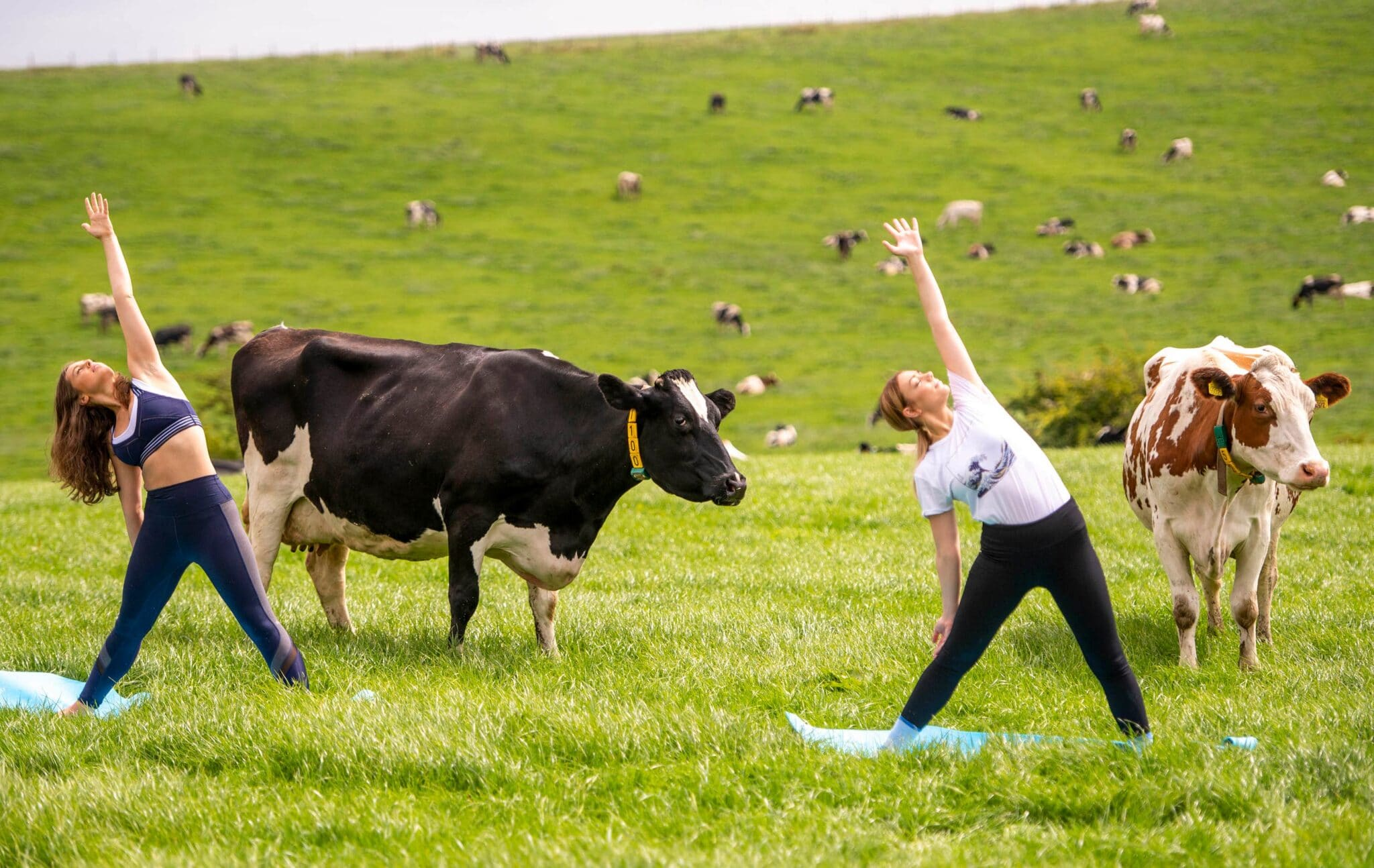 Yoga Class With Cows In Lancashire